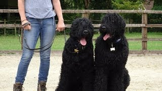 Casper & Aleksandr - Russian Black Terrier - Dog Aggression Residential Dog Training