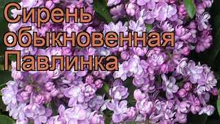 Сирень обыкновенная Павлинка (pavlinka) ???? обзор: как сажать, саженцы сирени Павлинка
