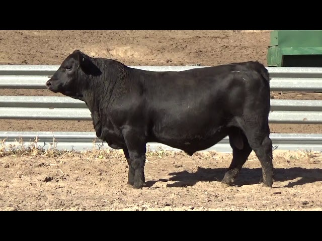 Connealy Angus Lot 86