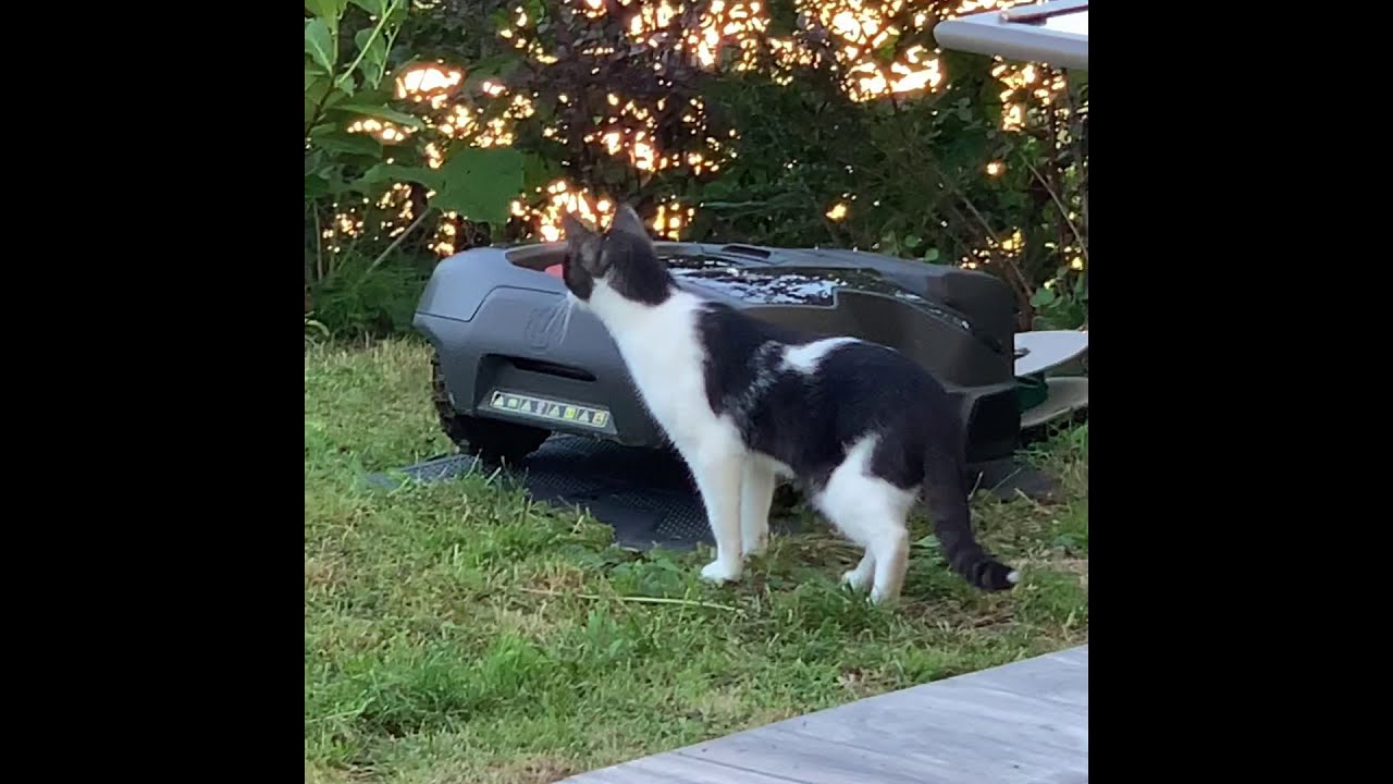 Cats Hunting An Auto Mower