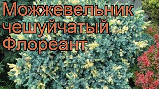 Можжевельник чешуйчатый Флореант (floriant) ???? обзор: как сажать, саженцы можжевельника Флореант