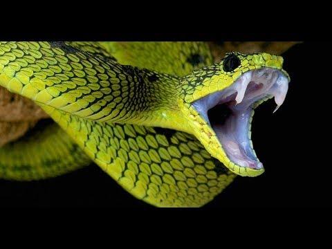 世界上最毒的蛇,毒性是眼睛蛇的200倍,被咬后基本无药可救