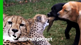 The Zoo | Saturdays at 10/9c on Animal Planet These cheetahs were r...