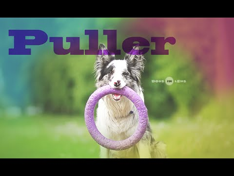 Border collie test: PULLER!
