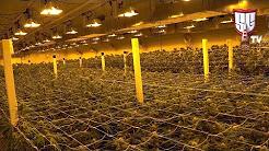 Growing Cannabis in Las Vegas - Greenway Medical - Smokers Guide TV Nevada