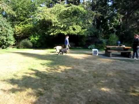 Mighty Mutts Training in Victoria BC- Rehabilitating an aggressive dog