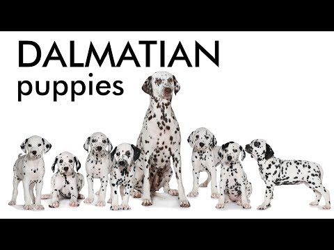 Dalmatian dog and puppies for sale in Chandigarh - Punjab