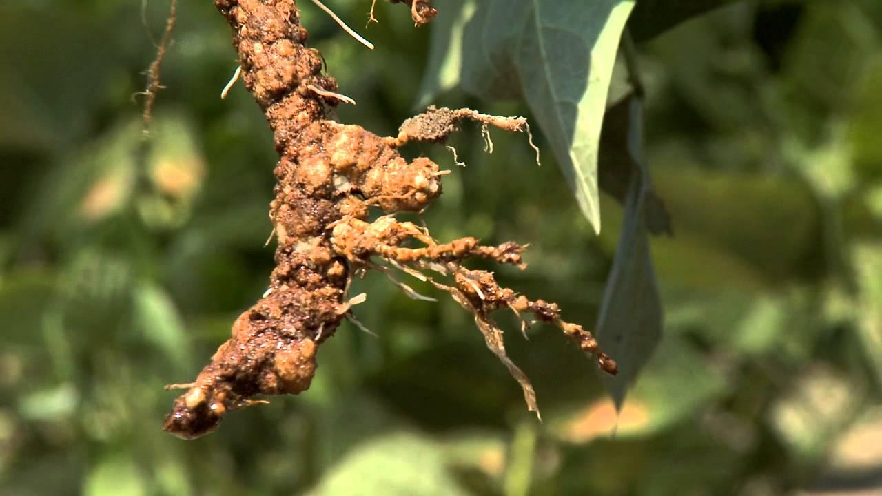 Diagnosing Nematode Damage In The Field Youtube