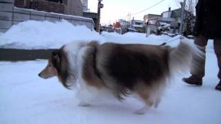 大晦日に実家のわんこを散歩に連れ出しました。老犬ですが、まだまだ元...