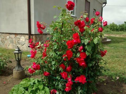 Подставка из металла для вьющихся роз и различных кустов.