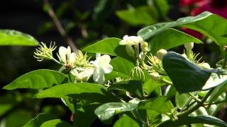 Jasmine adds pleasing fragrance to gardens