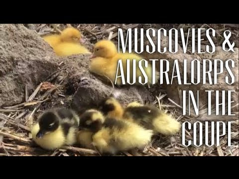 Relax with Backyard Muscovy Ducks & Australorp Chickens