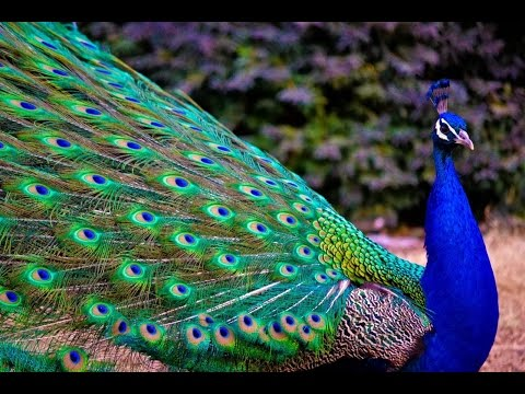Peacock Dance In Rain Showing Colorful Feathers - National Bird Of India Mayur Dancing