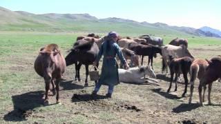 2011 Mongolia 24 Ovorhangay Horse milking Ongi gol