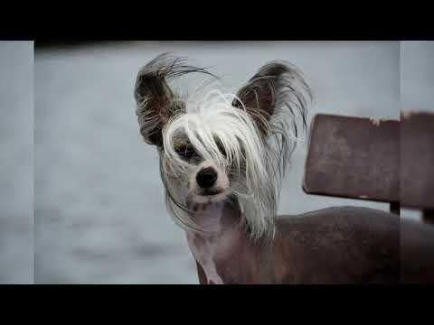 Китайская хохлатая собака. Плюсы и минусы, Цена, Как выбрать, Факты, Уход, История