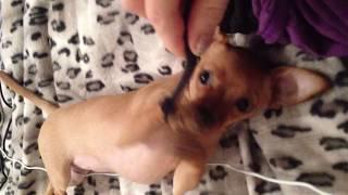 Что еще для счастья надо...кусочек веревочки) Милый щенок) веревочка вместо соски) funny puppy