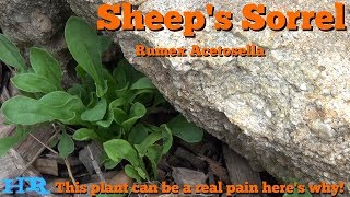 ⟹ SHEEP SORREL | Rumex acetosella | It's edible but a problem in your garden