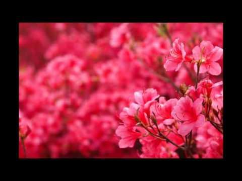 [Du lịch]Japanese cherry bloom season-Nhật Bản mùa hoa anh đào nở