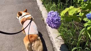 コーギーの小太郎です。 いつもどおりのおさんぽ風景。 ブログ:初めて...
