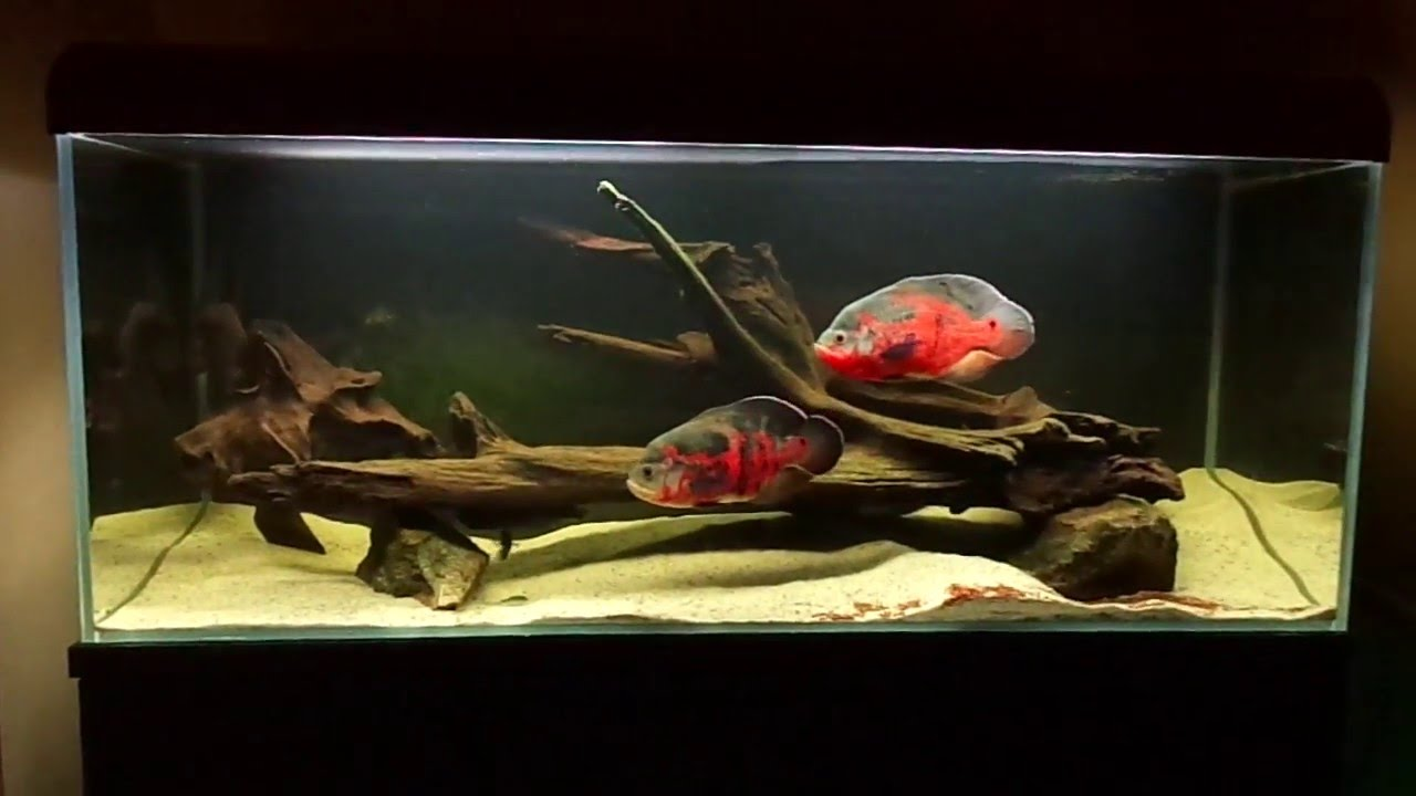 Fancy Guppies besides 267049452880101517 further Maingano additionally Red tiger oscar 2 together with Mikrogeophagus Ramirezi. on types of oscar fish