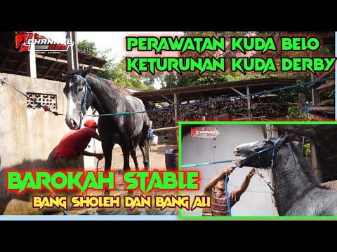 Begini Perawatan Kuda Belo Paska Latihan Kompres Air Hangat Di  Barokah Stable Bang Sholeh.