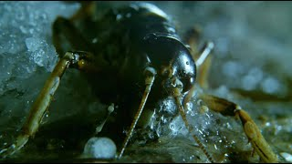Insect Returns From The Dead - Wild New Zealand - BBC Earth
