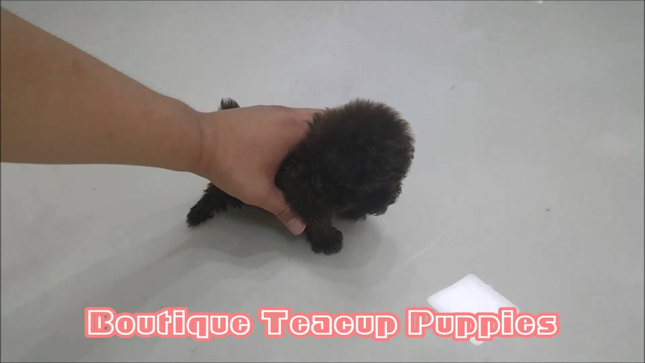 Amazing Micro Teacup Chocolate Poodle Available Youtube
