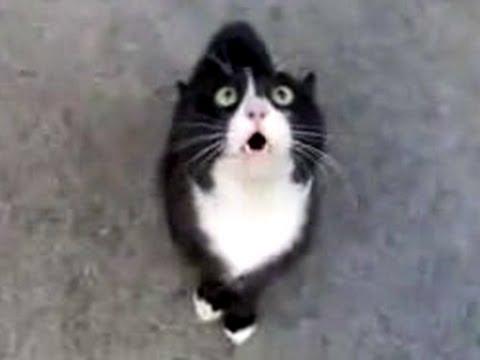 Funny talking cat !