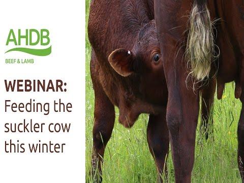 WEBINAR: Feeding the Suckler Cow this Winter