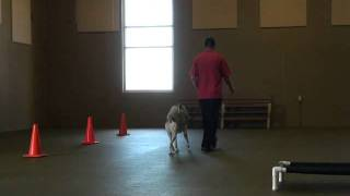 Aspen (siberian Husky) Boot Camp Dog Training Demonstration