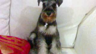 My Fav Photographs Of My 9mth Old Schnauzer In Singapore!