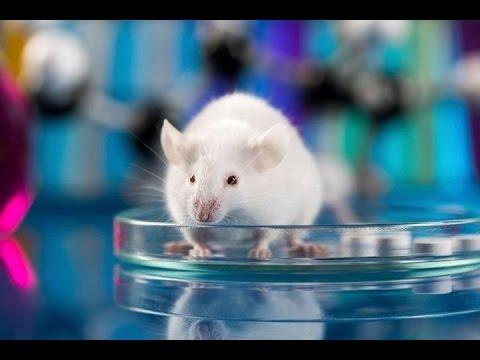 Consiguen restaurar la visión en ratones ciegos