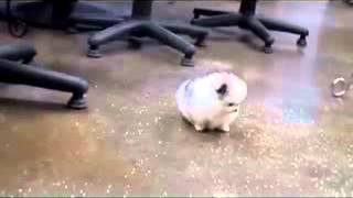 Fantastic Cool Pocket Sized Teacup Pomeranian (pom) For Sale