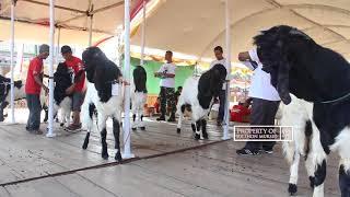 Video Pemilihan juara satu kontes kambing kaligesing pati jateng 2018 download MP3, 3GP, MP4, WEBM, AVI, FLV September 2019
