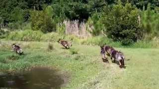 Free Range German Shepherd Pack Andre Vs The Pack