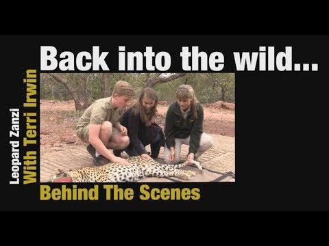Leopard Zanzi release into the wild with Terri, Bindi and Robert Irwin