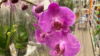 ОРХИДЕИ роскошные обзор КАКИЕ орхидеи НЕ покупаю в ОБИ
