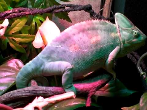 also my veiled chameleon changing color youtube rh