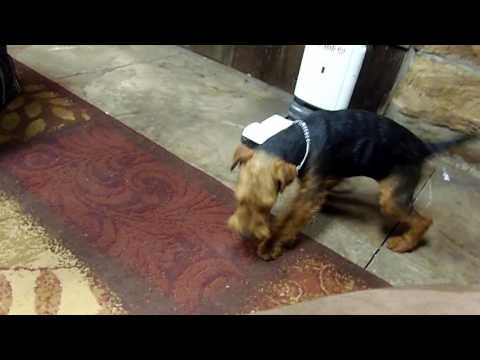 Welsh Terrier Zoey Groomed 2016