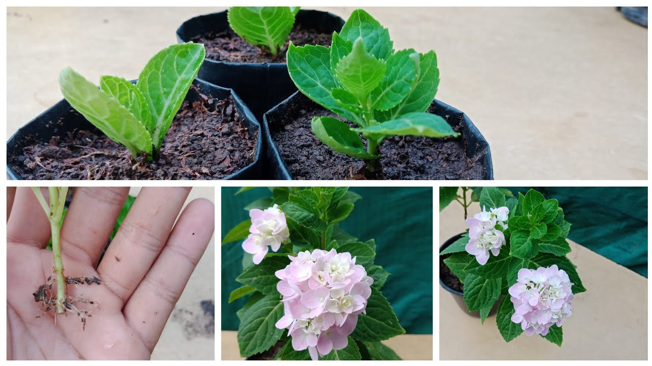 Download How To Grow Hydrangea Plant ,Grow Hydrangea using this process and get 100% success, Hydrangea plant