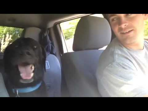 Cute black lab dog can't contain its excitement in the car