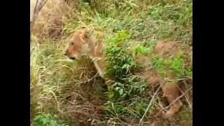 Мир животных (Львы)