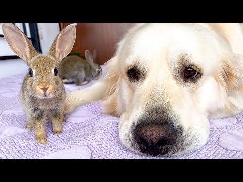 Golden Retriever as a BIG DADDY for Baby Bunnies!