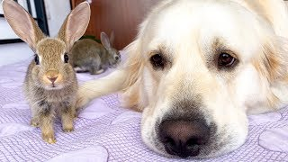 Golden Retriever as a BIG DADDY for Baby Bunnies!