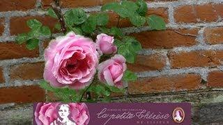 Sainte Thérèse de Lisieux, le rosier de son enfance, toujours vivant