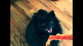 My Pomeranian Is A Quack Addict - He Is Crazy For Duck Jerky!