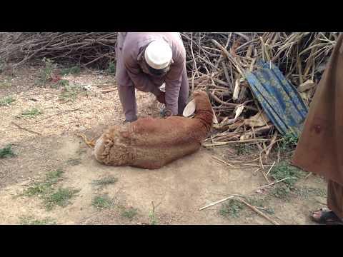 Khangian Lamb Program in Kaudari, Sher Garh Mardan