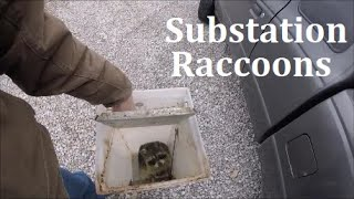 Electric Raccoon: Trapping Nuisance Raccoons from Substations