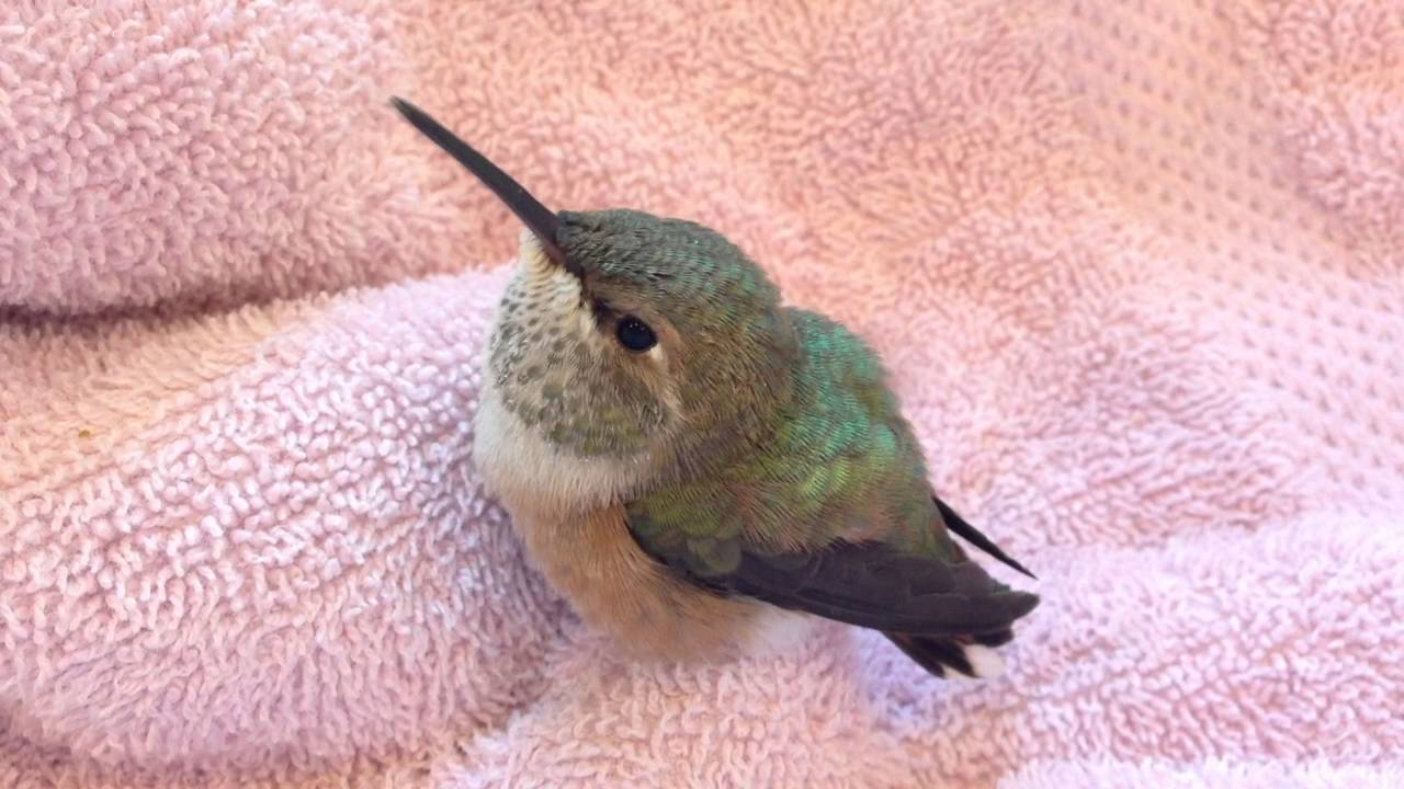 Baby Rufous Hummingbird - YouTube