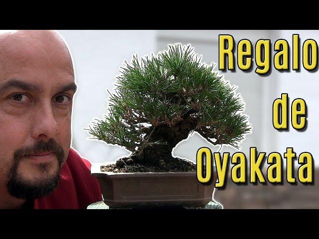 Pino negro shohin - El tercer bonsai que compré en Japón